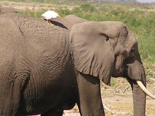 Elephant_bird